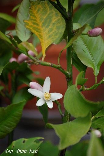 檸檬の花_a0164068_11312046.jpg
