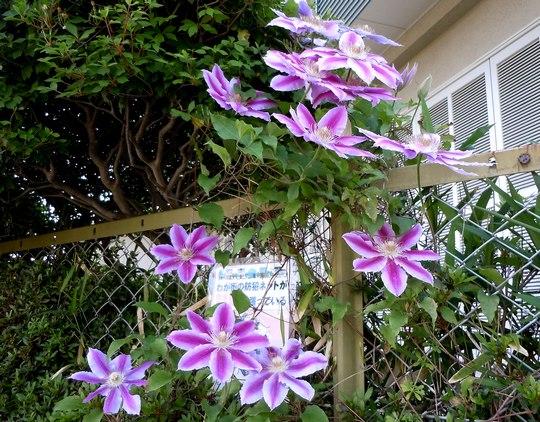 路傍の花、樹々の鳥(116)  ~ 蔓も良し、棘もまた良し ~_b0102572_17224297.jpg