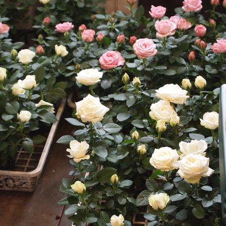 バラ祭りでしょうか?_a0292194_2115929.jpg