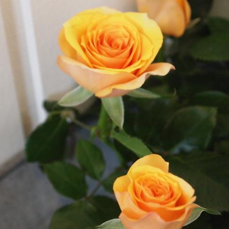 バラ祭りでしょうか?_a0292194_2122236.jpg
