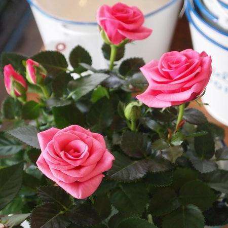バラ祭りでしょうか?_a0292194_2122689.jpg