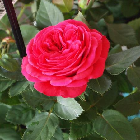 バラ祭りでしょうか?_a0292194_21231131.jpg