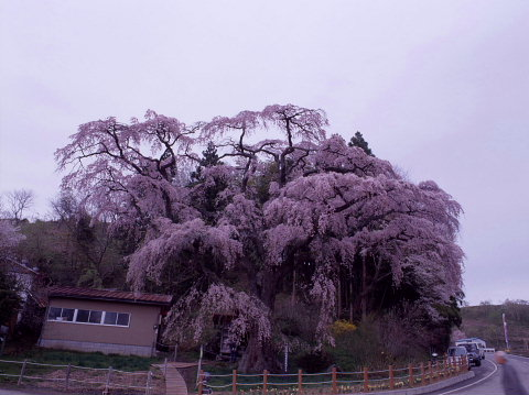 一本桜を巡りて_a0072620_1511121.jpg