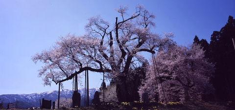 一本桜を巡りて_a0072620_15133671.jpg