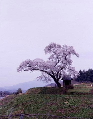 一本桜を巡りて_a0072620_15194065.jpg