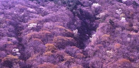 一本桜を巡りて_a0072620_1522011.jpg