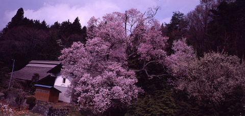 一本桜を巡りて_a0072620_15242853.jpg