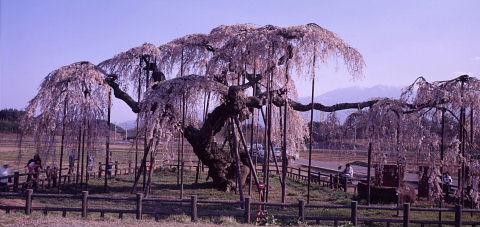 一本桜を巡りて_a0072620_15265180.jpg