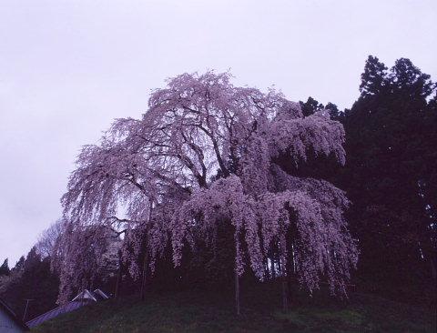 一本桜を巡りて_a0072620_1594499.jpg