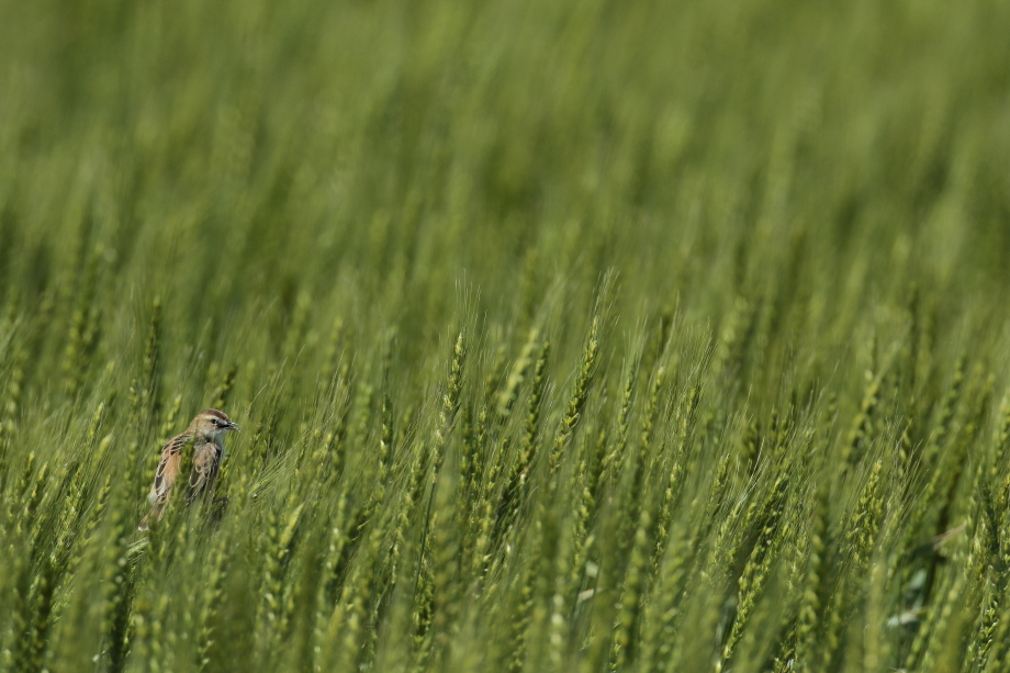 麦畑【セッカ】_b0113228_11265220.jpg