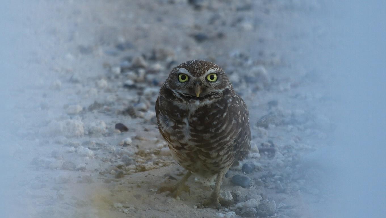 ネヴァダ州の鳥:2度目のアナホリフクロウ_f0105570_11202427.jpg