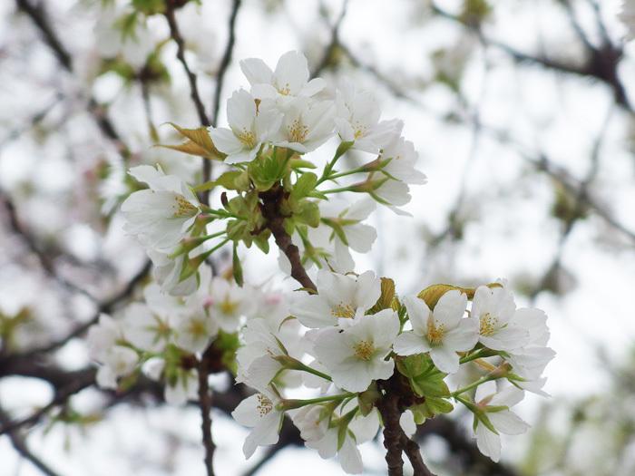 桜物語 2016 春 その6 ご近所さんの桜たち_d0016587_16375553.jpg