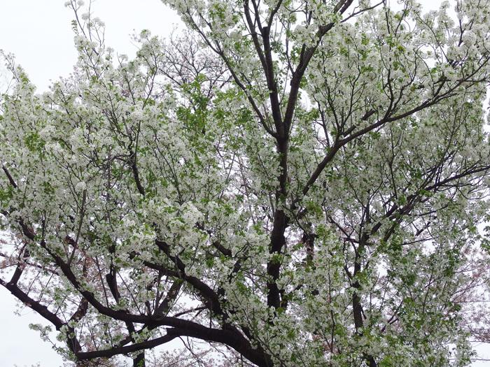 桜物語 2016 春 その6 ご近所さんの桜たち_d0016587_16381080.jpg