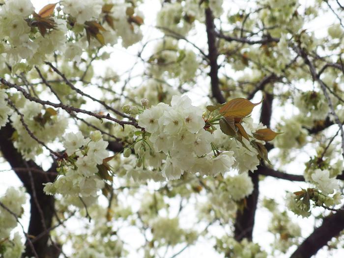 桜物語 2016 春 その6 ご近所さんの桜たち_d0016587_16381223.jpg