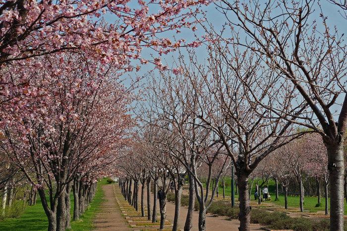 桜・・・2_d0162994_743473.jpg