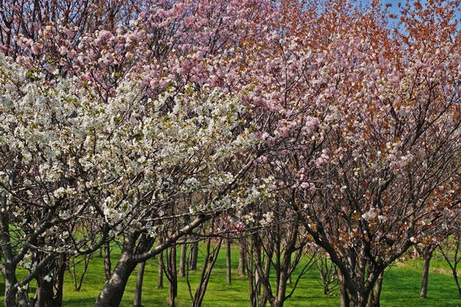 桜・・・2_d0162994_7455741.jpg