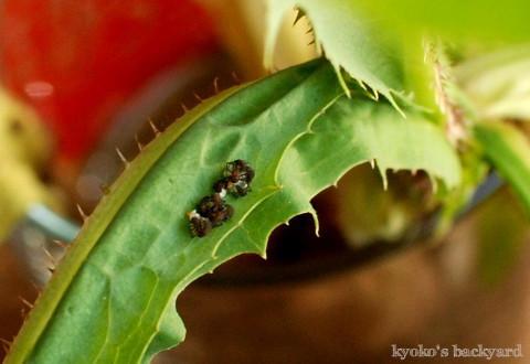 テントウムシ観察(卵の保護~1齢幼虫)_b0253205_05131914.jpg