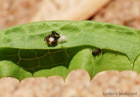 テントウムシ観察(卵の保護~1齢幼虫)_b0253205_05145717.jpg