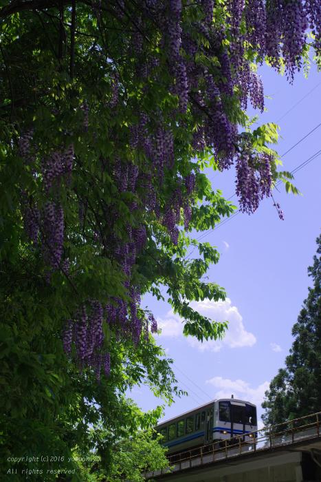 藤の花をかすめて_d0309612_0501762.jpg