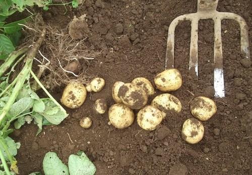 ジャガイモの初収穫.._b0137932_19272538.jpg
