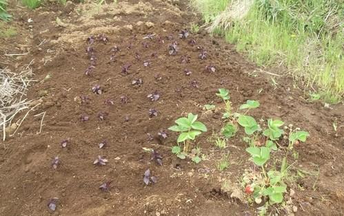ジャガイモの初収穫.._b0137932_19331517.jpg