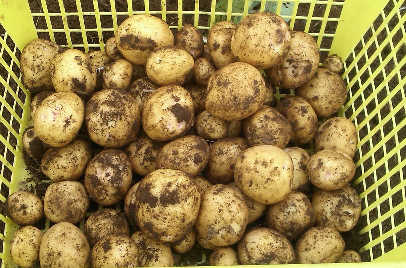 ジャガイモの初収穫.._b0137932_20204981.jpg
