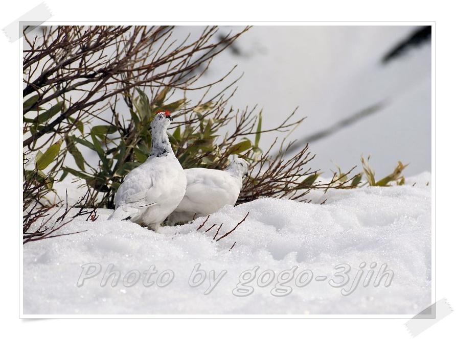 純白のライチョウを観察_b0346933_612941.jpg