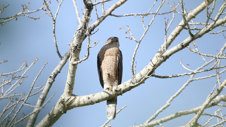 ネヴァダ州の鳥その2:Cooper\'s Hawk_f0105570_9514988.jpg