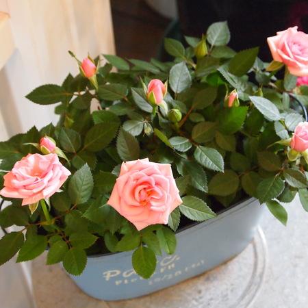 バラ祭りでしょうか?_a0292194_20522658.jpg