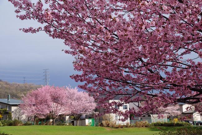 桜・・・3_d0162994_910294.jpg