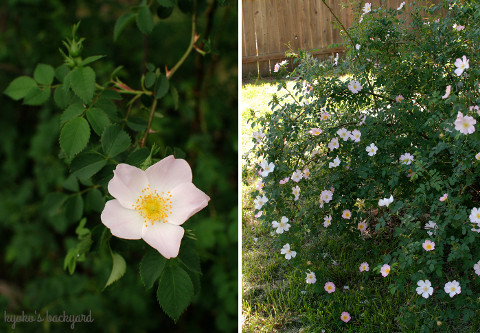 裏庭の花壇の様子(4月下旬~5月上旬)_b0253205_03080467.jpg
