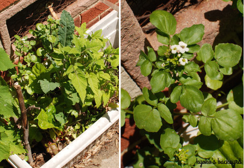 裏庭の花壇の様子(4月下旬~5月上旬)_b0253205_03090126.jpg
