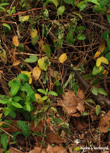 裏庭の花壇の様子(4月下旬~5月上旬)_b0253205_03095352.jpg