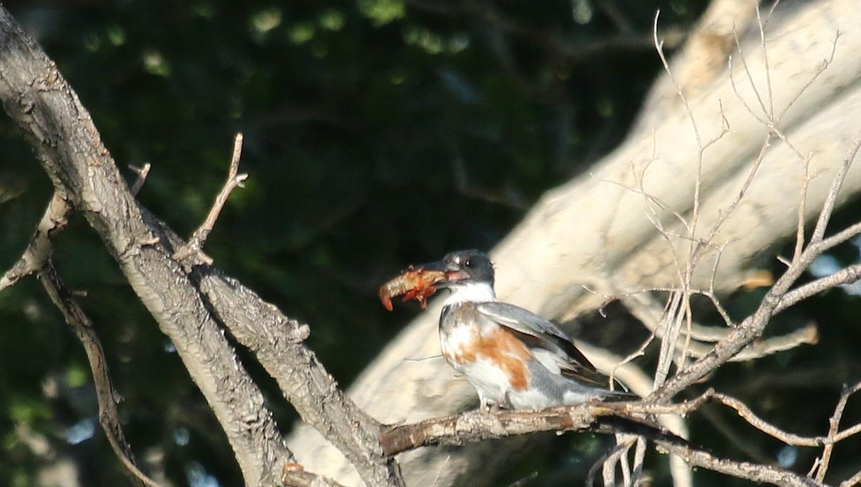 ネヴァダ州の鳥その3:アメリカのヤマセミ_f0105570_2574397.jpg