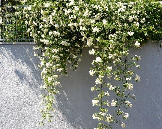 路傍の花、樹々の鳥(116)  ~ 蔓も良し、棘もまた良し ~_b0102572_11592789.jpg