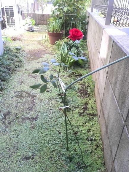 あの!おばあちゃんの薔薇が今年も満開に咲きました^^ & 緊急告知!!_f0340942_00005789.jpg