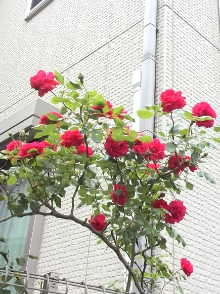 あの!おばあちゃんの薔薇が今年も満開に咲きました^^ & 緊急告知!!_f0340942_00072432.jpg