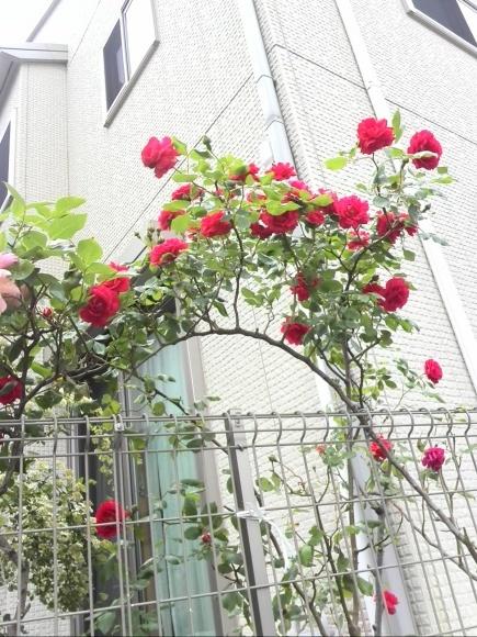 あの!おばあちゃんの薔薇が今年も満開に咲きました^^ & 緊急告知!!_f0340942_00074641.jpg