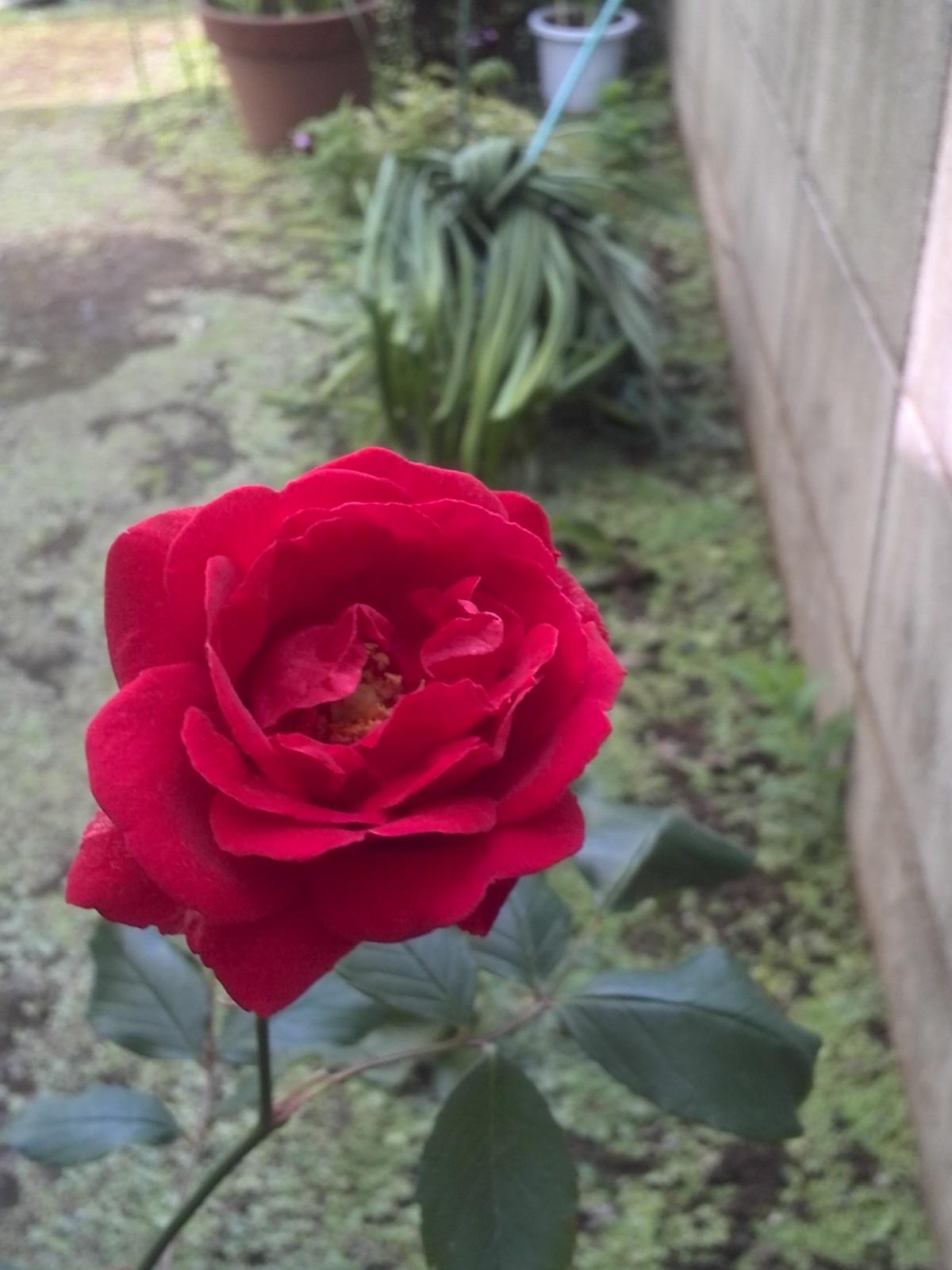 あの!おばあちゃんの薔薇が今年も満開に咲きました^^ & 緊急告知!!_f0340942_00084170.jpg