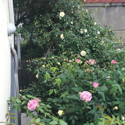 薔薇がいっぱい_a0163160_11553596.jpg