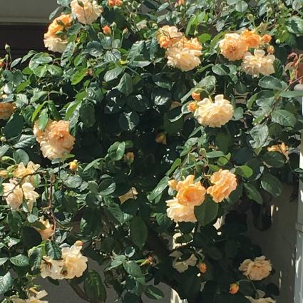 薔薇がいっぱい_a0163160_11553649.jpg