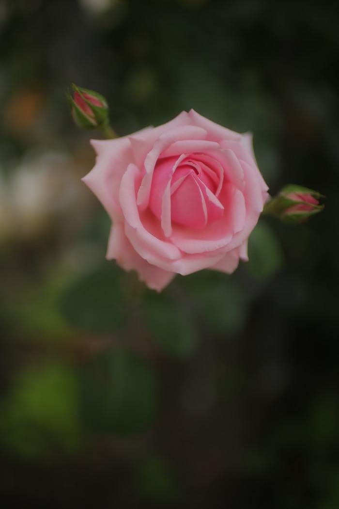 薔薇 2016 _f0021869_23341691.jpg