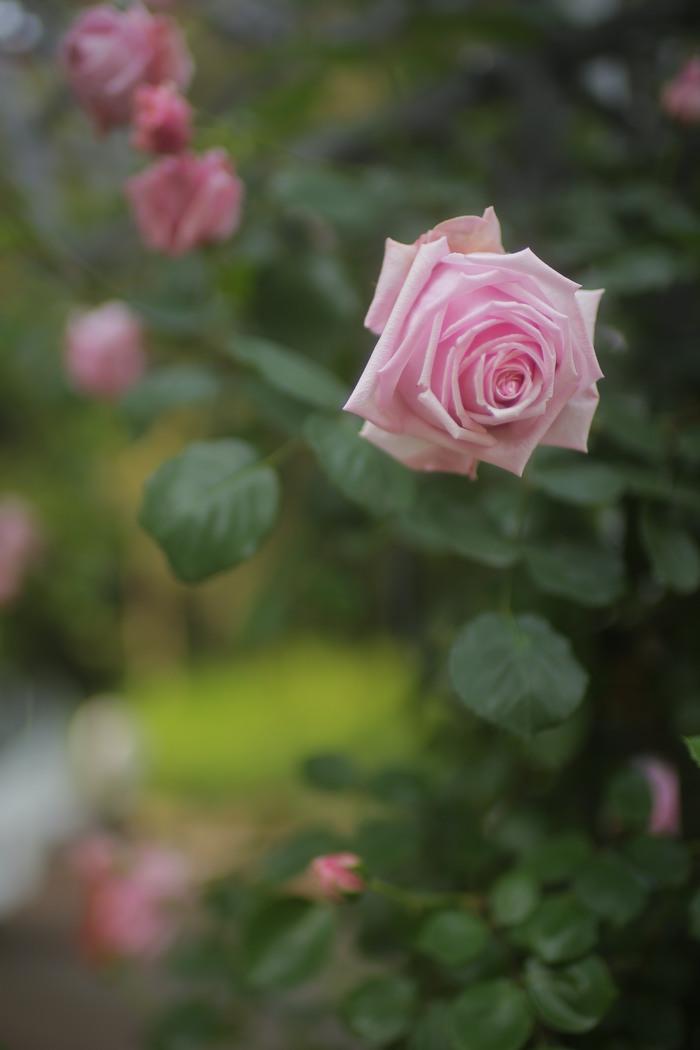 薔薇 2016 _f0021869_23345475.jpg