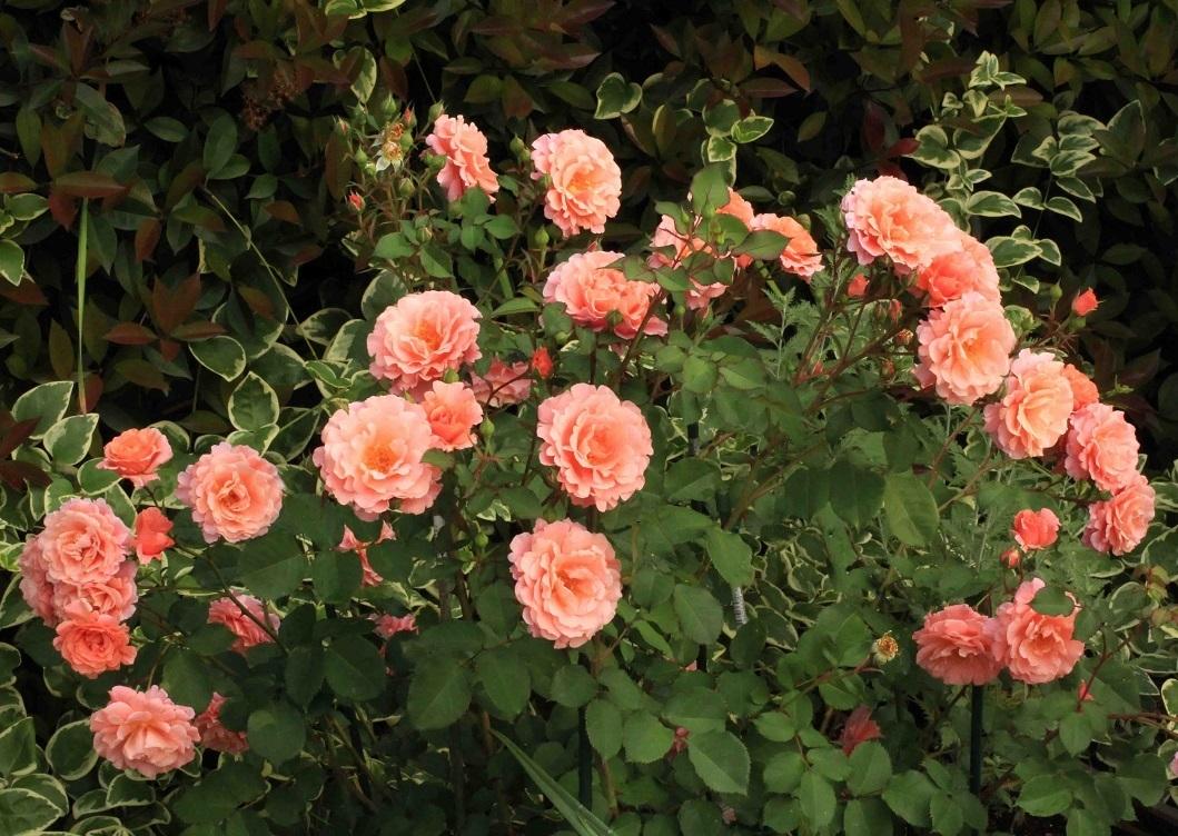 夕日が沈むオレンジ色の薔薇~サンセットグロウ~_a0107574_15242051.jpg
