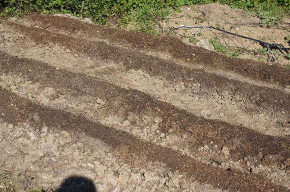 雨の前に大急ぎでインゲン豆を蒔きました_f0106597_05311220.jpg