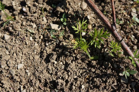 雨の前に大急ぎでインゲン豆を蒔きました_f0106597_05413347.jpg