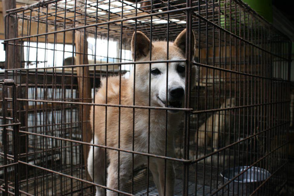 ブリーダー放棄の柴犬とラブたち(7/2-7/3)_f0242002_0593110.jpg