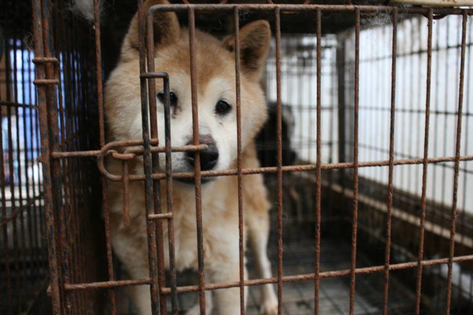 ブリーダー放棄の柴犬とラブたち(7/2-7/3)_f0242002_163058.jpg