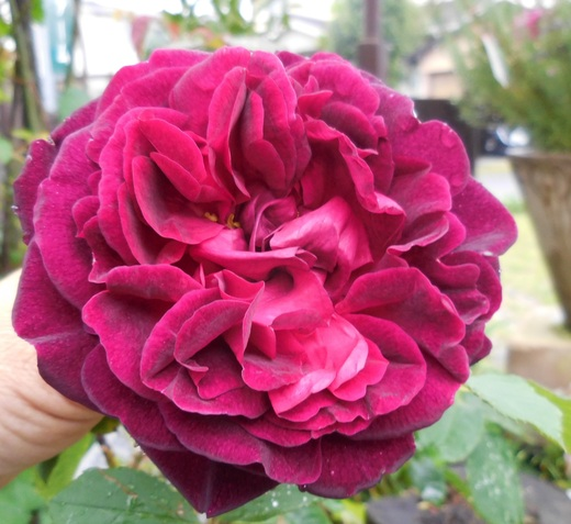 お花を見てバラを選ぶベストシーズンです!_f0139333_1661365.jpg