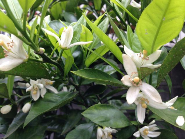5月に咲くみかんの花とレモンの花とライムの花_d0337937_16355182.jpg